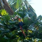 scarlet macaw at saladero