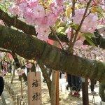 'Happiness, prosperity and longevity' cherry blossom