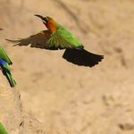 white collared bee eater