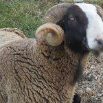 friendly ram