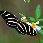 Zebra Heliconian, Florida's state butterfly, by David Moynahan/FWC
