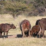 de buffel met de wond, die behandeld moet worden anders zal zij sterven