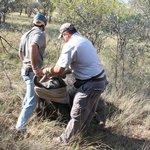 de buffel wordt geblinddoekt nadat zij onder narcose is gebracht, dit moet omdat de ogen niet sl