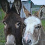SALLY AND CHARLIE THE DONKEYS