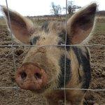 SPARTIE THE PIG HAD 4 PIGLETS APRIL2013