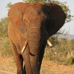dominante olifant die ons dwong achteruit te rijden