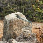 Beautiful lizard in Arikok National Park