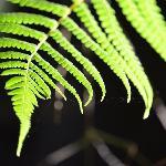 Tree fern frond in the morning sunlight