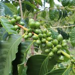 Unripe coffee fruits.