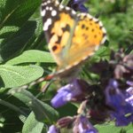 Butterfly in the sage