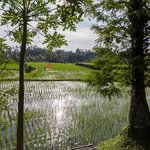 View of rice paddy