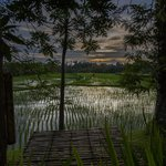 Evening view of rice paddy