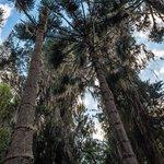 Piman's centenial forest