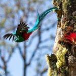 Resplendent Quetzals...a common sight here!