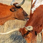 Enjoy the Texas Longhorns