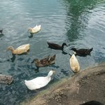Duck Feedings