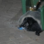 Honey badger checking the contents of our dustbin