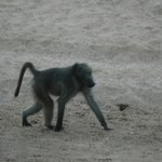 baboon in the riverbed- view from the tent