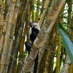 capuchin monkey on the mangrove tour