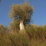 Gli Olivivi di Seggiano