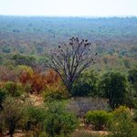 View of vulture tree at Safari Lodge.