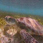 Embudo turtle