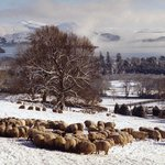 Feeding Sheep in Winter