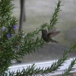 Rufous Hummingbird coming to visit in December!