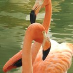 beautiful flamingos