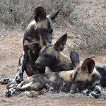 Tui Pack - Wild Dog Pups