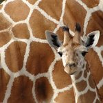 Baby Reticulated Giraffe
