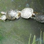 Turtles at willow bank