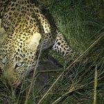 Leopardo cerca del campamento