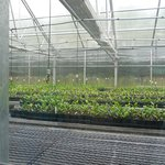 Tea Plantation greenhouse for new tea plants
