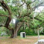 Large oak with Resurrection fern growing on it