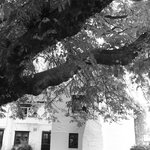 The old chestnut tree in the garden