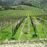 A close up of the vinyards