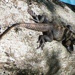 iguanas and lizards around the creek and gardens.