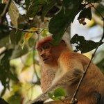 proboscis monkey - boat ride