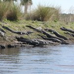 There were about 20 alligators on the shore, and many more in water in this area.