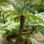 Tree Fern Glade