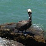 My Friend, The Blonde Pelican