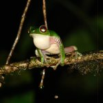 Red-eyed treefrog calling from the bank of the lagoon