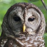 Barred Owl in the backyard of the Blue and Gray B&B