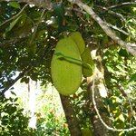 Jackfruit in the Fruit Orchard