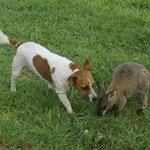 Dog and Wallaby