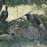 Cheetah feeding & vultures