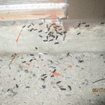 Nightly Assembly of Black Carpenter Ants at Room Door