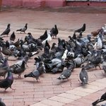 Lots of Pigeons looking for a hand-out.