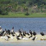 Terns & pelicans